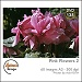 Pink flowers 2 (AUI-DVD138)