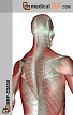The Musculoskeleton of the Back and Spine Realistic 1 (MED-MRFCD030)