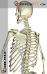 The Bones of the Back and Spine Realistic 1 Part B (MED-MRFCD140)