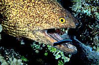 Yellowmargin Moray Eel (Gymnothorax flavimarginatus ) being cleaned by Cleaner Wrasse
