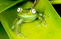 Tree Frog (Hyla granosa)
