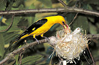 Golden Oriole (Oriolus oriolus) feeding chicks