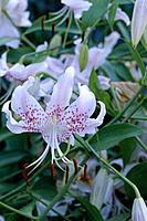 Lily (Lilium speciosum)
