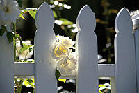 White roses and white wooden fence
