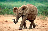 African Elephant (Loxodonta africana). Addo Elephant National Park. South Africa