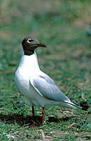 Black-headed Gull (Larus ridibundus). Slonsk Reserve. Poland