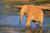 African Elephant (Loxodonta africana). Samburu Game Reserve. Kenya