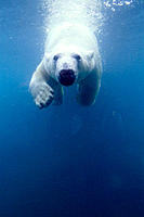 Polar Bear (Ursus maritimus) under water