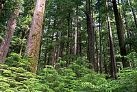 Hemlock forest. Sol Duc Valley. Olympic National Park. Washington. USA