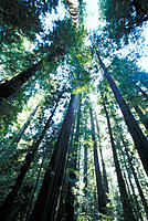 Redwood forest. Humboldt Redwoods State Park. California. USA