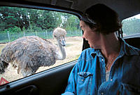 Ostrich in safari park. Kolmarden. Sweden