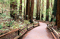 Trail through the Cathedral Grove. Muir Woods National Monument. California. USA