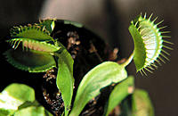 Venus Flytrap (Dionaea muscipula)