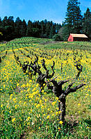 Mustard in zinfandel vineyard in Spring. Dry Creek region. Healdsburg. California. USA
