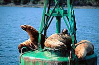 Northern Sea Lions (Eumetopias jubatus) on a sea buoy. Alaska. USA