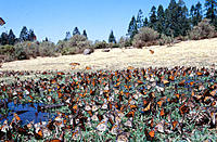 Monarch Butterflies (Danaus plexippus). El Rosario Butterfly Reserve. Mexico