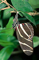 Zebra longwing butterfly (heliconius charitonius), male attaches to pupa, mating with female before she emerges. Florida. USA