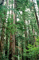 Redwood (Sequoia sempervirens). Stout Grove. Jedediah Smith Redwoods State Park. California. USA