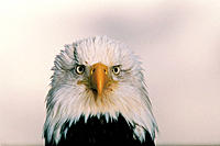 Bald Eagle (Haliaeetus leucocephalus). USA