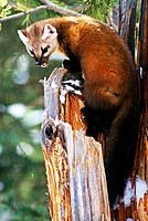 Pine Marten (Martes martes). Yellowstone NP. Wyoming. USA