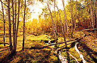 Brook running through fall aspen forest