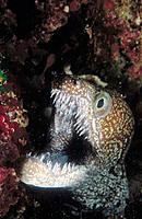 Mosaic Moray (Enchelycore ramosa)
