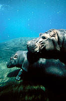Hippopotamus, mother and calf (Hippopotamus amphibius)