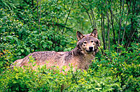 Wolf (Canis lupus) in bushes. Montana. USA