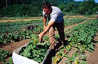 Organic farming, man harvesting swiss chard