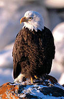 Bald Eagle (Haliaetus leucocephalus). Homer. Alaska. USA