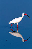 White Ibis (Eudocimus albus). Merritt Island National Wildlife Refuge. Florida. USA