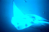 Manta Ray (Manta birostris). Maldive Islands