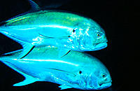 Jackfishes (Caranx melampygus). Indian Ocean