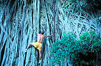 Climbing a Banyon tree. Maui Island. Hawaii. USA