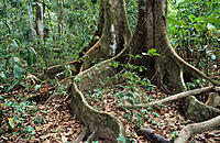 Rainforest tree roots. Corcovado NP. Costa Rica