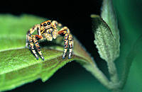 Tropical jumping Spider on leaf