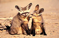 Bat-Eared Fox (Otocyon megalotis). Kalahari Gemsbok NP. South Africa