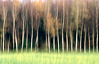 Birch trees behind rape field. Germany