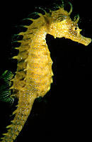 Sea Horse (Hippocampus ramulosus). Atlantic Ocean