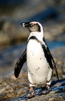Jackass Penguin (Spheniscus demersus). Marcus Island. South Africa