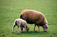 Brown ewe and white lamb grazing in green field, the Netherlands
