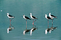 Black-necked Stilts (Himantopus himantopus). Ngorongoro crater. Tanzania