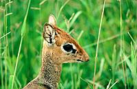 Damara Dik-dik (Madoqua kirkii). Tarangire National Park. Tanzania