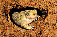Couch's Spadefoot (Scaphiopus couchi). Arizona. USA