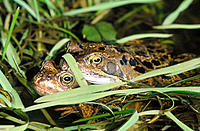 Common Frogs (Rana temporaria). England