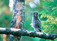 Great Gray Owl (Strix nebulosa). Västerbotten. Sweden