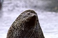 Antarctic Fur Seal (Arctocephalus gazella). South Georgia. United Kingdom