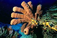 Brown Tube Sponge (Agelas conifera). Caribbean
