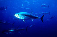 Northern Bluefin Tuna (Thunnus thynnus)
