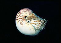 Nautilus (Nautilus pompilius). Great Barrier Reef. Australia